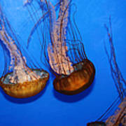 Sea Nettle Jelly Fish 5d25076 Poster by Wingsdomain Art and Photography