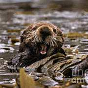 Sea Otters Poster by Ron Sanford