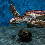 Sea Turtle 5d25083 Poster by Wingsdomain Art and Photography