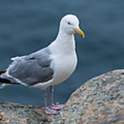 Seagull Poster by Sebastian Musial