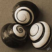 Seashells Spectacular No 28 Poster by Ben and Raisa Gertsberg