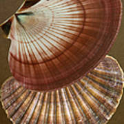 Seashells Spectacular No 53 Poster by Ben and Raisa Gertsberg