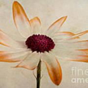 Senetti Pericallis Orange Tip Poster by John Edwards