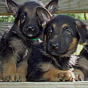 Shepherd Pups 2 Poster by Aimee L Maher Photography and Art Visit ALMGallerydotcom