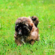 Shih Tzu Puppy Poster by Darren Fisher