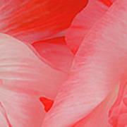 Shirley Poppies Poster by Theresa Tahara