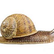 Snail Poster by Elena Elisseeva