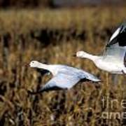Snow Geese Poster by Steven Ralser