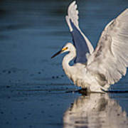 Snowy Egret Frolicking In The Water Poster by Andres Leon
