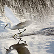 Snowy Egret Gliding Across The Water Poster by John Bailey