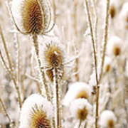 Snowy Thistle Poster by The Forests Edge Photography - Diane Sandoval