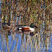 Stunning Shovelers Poster by Al Powell Photography USA