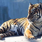 Sumatran Tiger 7d27276 Poster by Wingsdomain Art and Photography