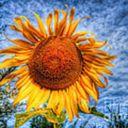 Sun Flower Poster by Adrian Evans