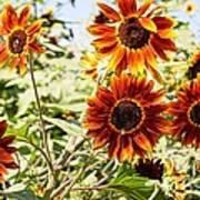 Sunflower Cluster Poster by Kerri Mortenson