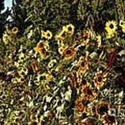 Sunflower Fields Forever Poster by Peggy Hughes