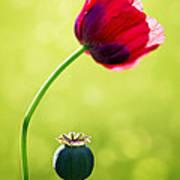 Sunlit Poppy Poster by Natalie Kinnear