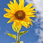 Sunny Sunflower Poster by Joshua Clark