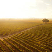 Sunrise Over The Vineyard Poster by Diane Diederich