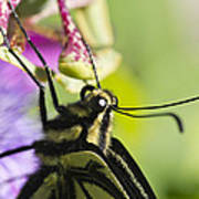 Swallowtail Butterfly Poster by Priya Ghose