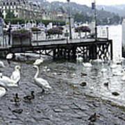 Swans And Ducks In Lake Lucerne In Switzerland Poster by Ashish Agarwal