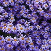 Sweet Dreams Of Purple Daisies Poster by Carol Groenen