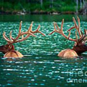 Talbot Lake Elk Poster by Terry Elniski