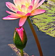 Tall Waterlily Beauty Poster by Byron Varvarigos