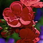 The Geraniums Poster by Gwyn Newcombe