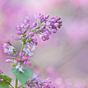 The Lilac Poster by Kay Pickens