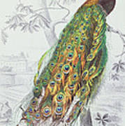 The Peacock Poster by A Fournier