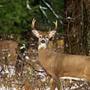 The Rutting Whitetail Buck Poster by Thomas Young