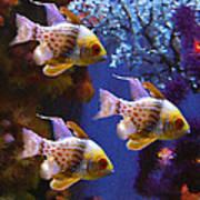 Three Pajama Cardinal Fish Poster by Amy Vangsgard