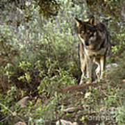 Timber Wolf Poster by Angel  Tarantella