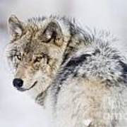 Timber Wolf Pictures 1268 Poster by World Wildlife Photography