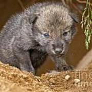Timber Wolf Pictures 782 Poster by World Wildlife Photography