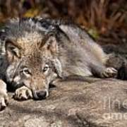 Timber Wolf Pictures 945 Poster by World Wildlife Photography