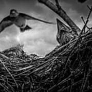 Tree Swallows In Nest Poster by Bob Orsillo