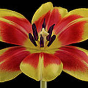 Tulip Poster by Mark Johnson