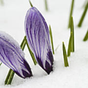 Two Purple Crocuses In Spring With Snow Poster by Matthias Hauser
