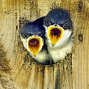 Two Tree Swallow Chicks Poster by Christina Rollo