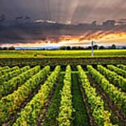 Vineyard At Sunset Poster by Elena Elisseeva