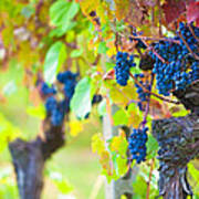 Vineyard Grapes Ready For Harvest Poster by Susan  Schmitz