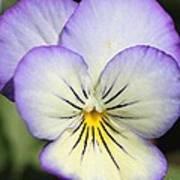 Viola Named Sorbet Lemon Blueberry Swirl Poster by J McCombie