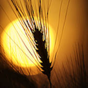 Wheat At Sunset  Poster by Tim Gainey
