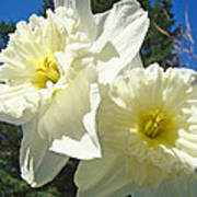 White Daffodils Flowers Art Prints Spring Poster by Baslee Troutman