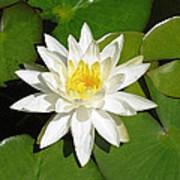 White Lotus Poster by Ellen Henneke