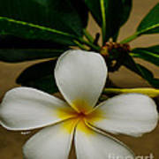 White Plumeria 2 Poster by Cheryl Young