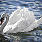 White Swan On Water Poster by Elena Elisseeva