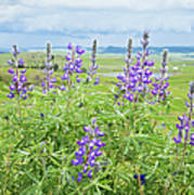 Wild Lupine Poster by Theresa Tahara